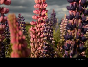 Russell lupines 1 by Cate Martin. The colour photo shows Russell lupines in front of a murky sky.
